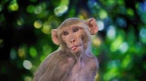 اللقاحات تتمكن من حماية القردة ضد كوفيد-19، فهل تنجح في تحصين البشر أيضاً؟