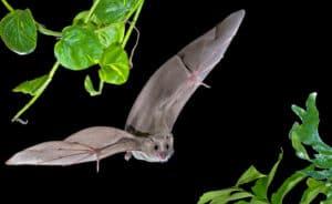 دماغ الخفاش يتنبأ بالحركة التالية أثناء طيرانه