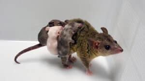 حيوان الأبوسوم الأمهق يثبت أن تقنية كريسبر فعالة مع الحيوانات الجرابية أيضاً